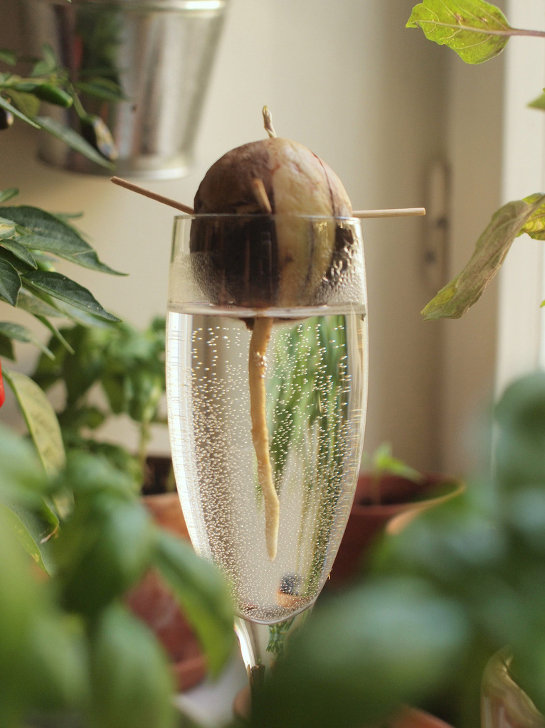 how to avocado pflanze aus einem kern ziehen greenchakra. Black Bedroom Furniture Sets. Home Design Ideas